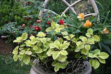 Plectranthus 'Troys Gold' Basket6