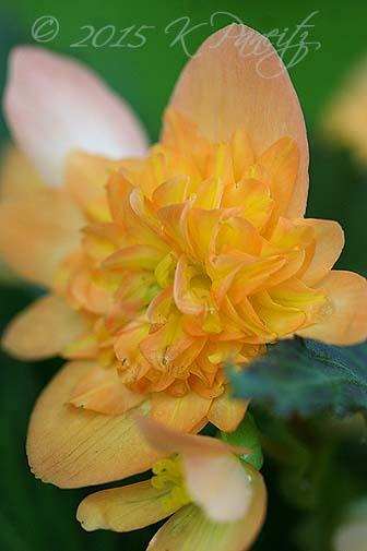 Begonia boliviensis hybrid 'Lucky Strike7'