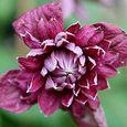 Clematis 'Purpurea Plena Elegans1'
