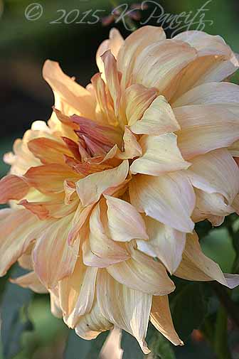 Dahlia 'Big Brother1'