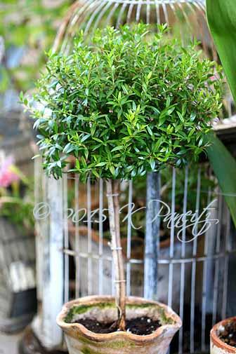 Myrtle Topiary3