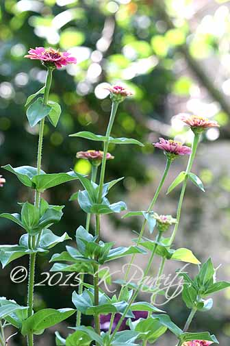Zinnia 'Queen Red Lime6'