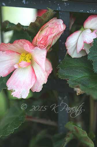 Begonia Lantern3