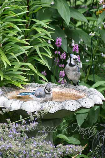 Blue Jays