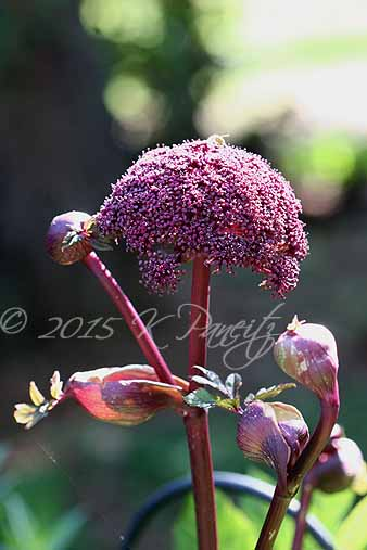 Angelica gigas4