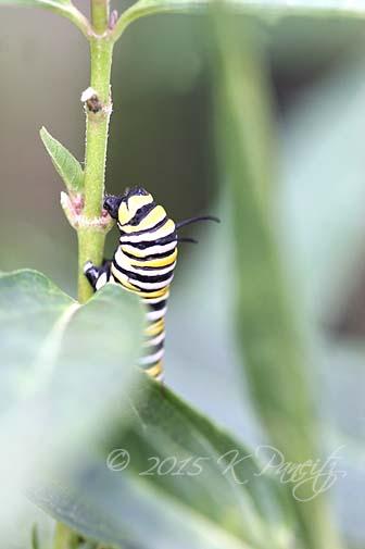 Monarch caterpillar8