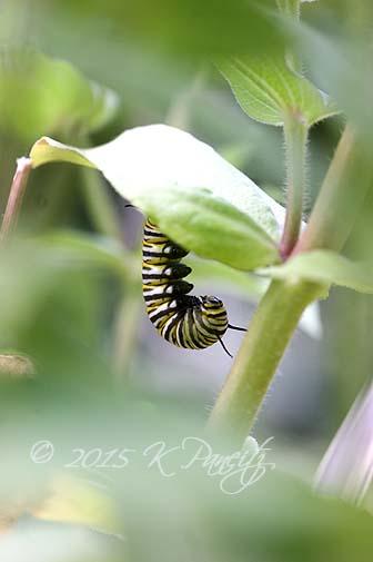 Monarch caterpillar pupating5