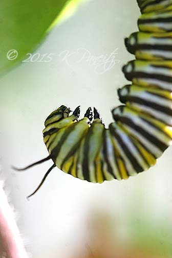 Monarch caterpillar pupating4
