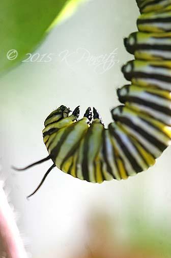 Monarch caterpillar pupating4