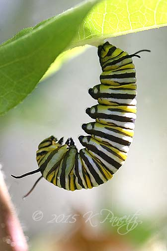 Monarch caterpillar pupating6
