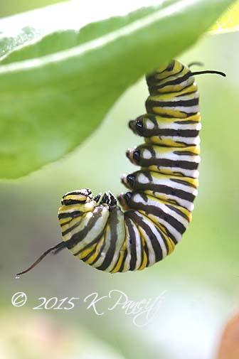 Monarch caterpillar pupating8