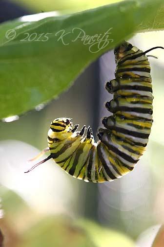 Monarch caterpillar pupating9