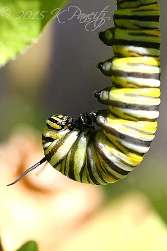 Monarch metamorphosis3