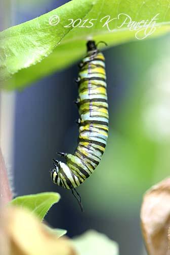 Monarch metamorphosis4