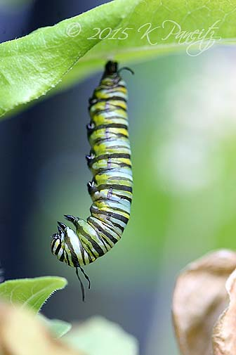 Monarch metamorphosis6