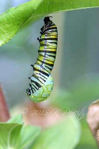 Monarch metamorphosis7