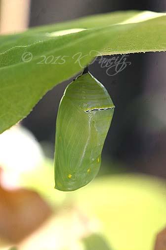 Monarch metamorphosis12