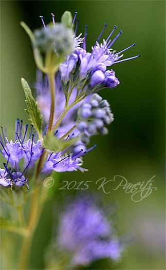 Caryopteris 'Blue Mist'