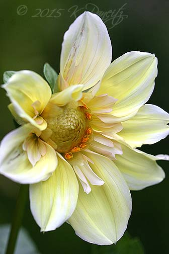Dahlia 'Apple Blossom1'