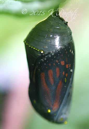 Monarch Chrysalis12