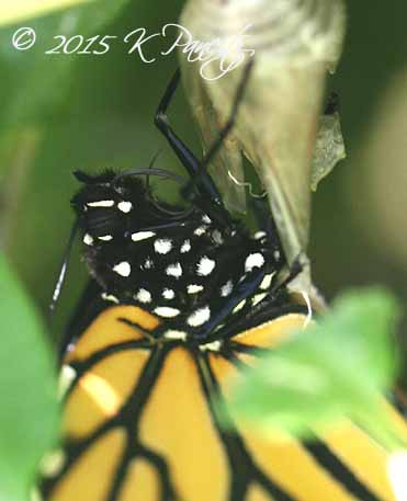 Monarch butterfly5