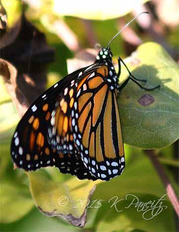 Monarch butterfly10