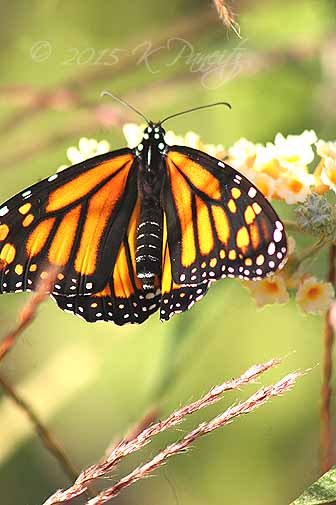 Monarch butterfly12
