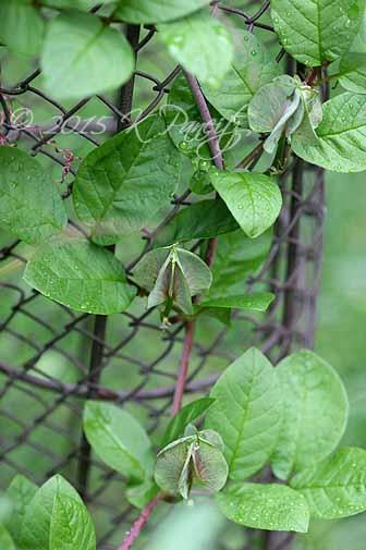 Cobaea scandens buds