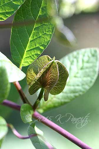 Cobaea scandens bud2