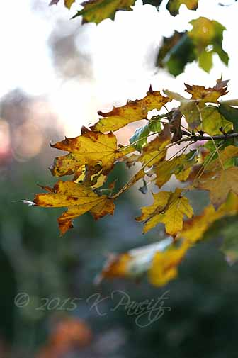 2015 Nov Maple Leaves