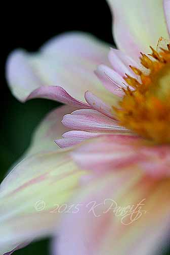 Dahlia 'Apple Blossom4'