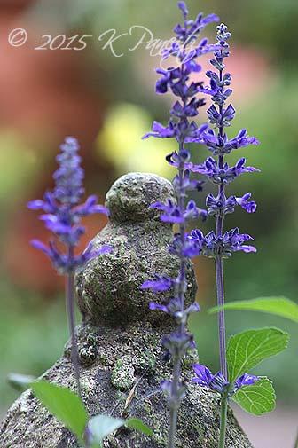 Salvia Farinacea 'Victorian Blue1'