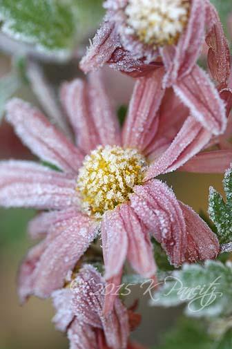 Chrysanthemum 'Rhumba Frosted1'