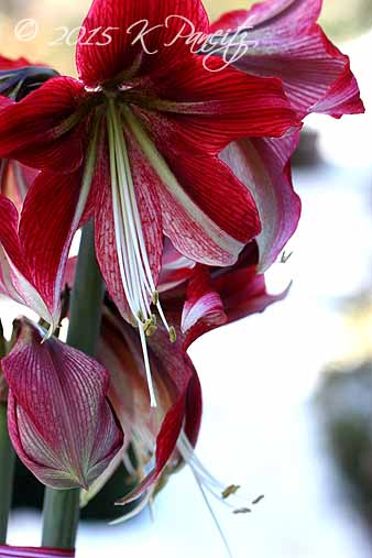 Amaryllis 'Ruby Star4'