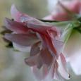 Amaryllis 'Pink Glory'