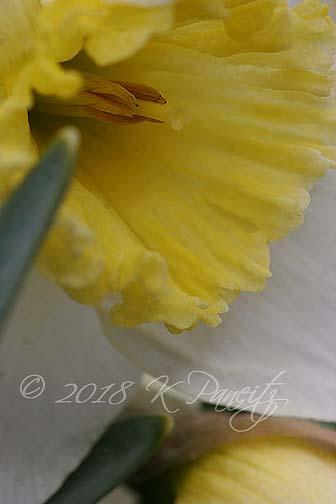 1st daffodil2