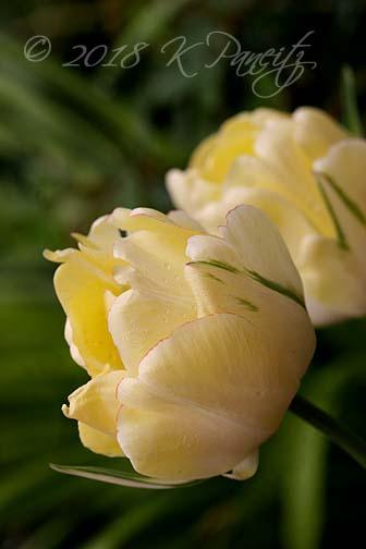 'Akebono' Tulip