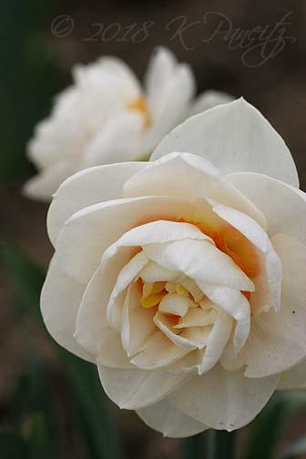 Narcissus 'Gay Tabor'