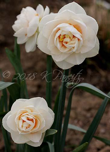 Narcissus 'Gay Tabor1'