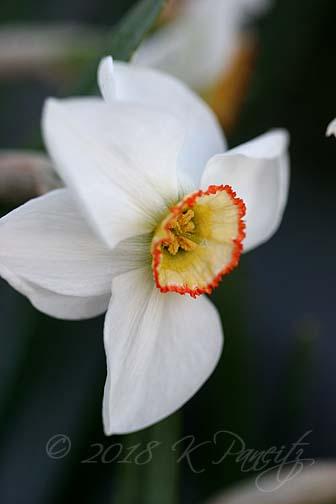 Narcissus 'Dreamlight3'