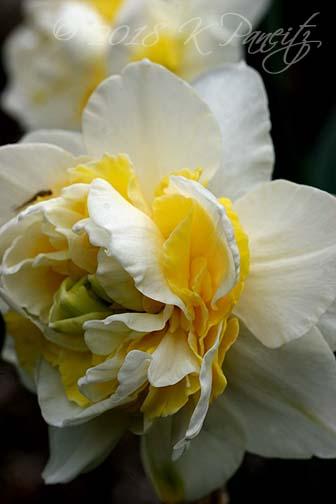 Narcissus 'Lingerie2'