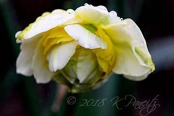 Narcissus 'Lingerie'