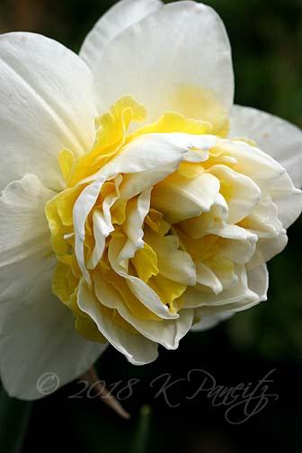 Narcissus 'Lingerie1'