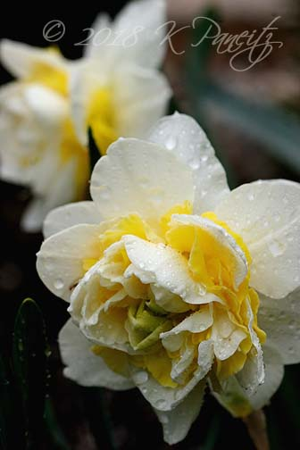 Narcissus 'Lingerie5'
