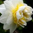 Narcissus 'Lingerie6'