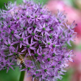 Allium blooms2