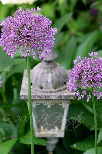 Allium blooms3
