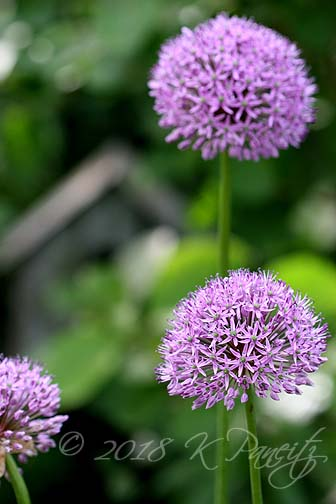 Allium blooms4