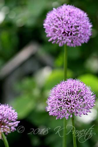 Allium blooms4