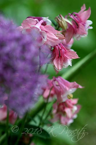 Allium & Columbine